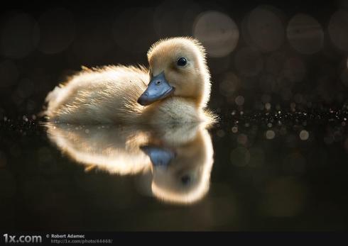 Baby Duck!